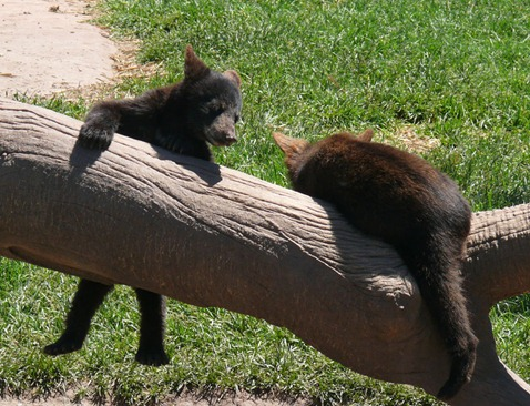 Baby Bears2
