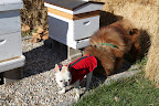 Silly Francesca, as long as you're not trying to steal their honey,  Martha's honeybees are very friendly!