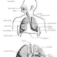 cuerpo humano aparato respiratorio