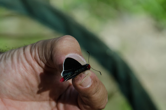 Pyrrhopyge sp. Près de Coroico à 1000 m d'alt. (Yungas, Bolivie), 14 octobre 2012. Photo : C. Basset