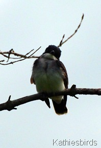 DSC_0056 kingbird-kab