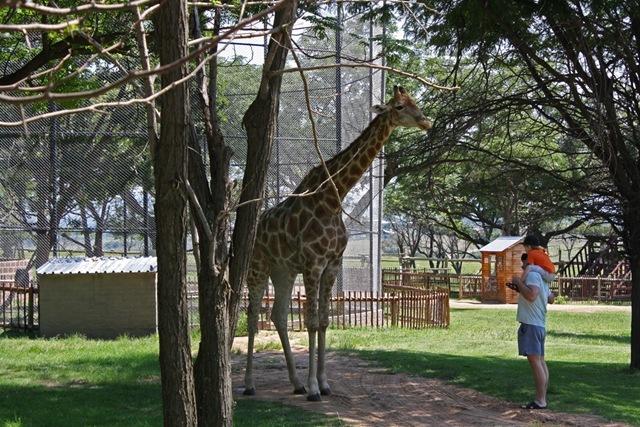 Giraffe, Lion Park Johannesburg