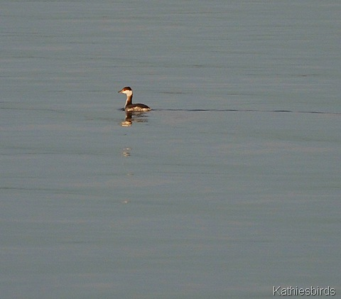 5. horned grebe-kab