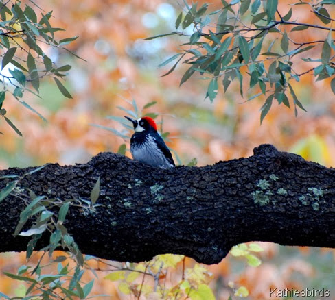 9. acorn woodpecker-kab