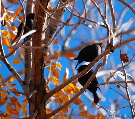 5. brown-headed cowbirds-kab