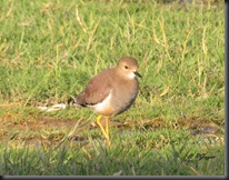 0116 White tailed Lapwing.