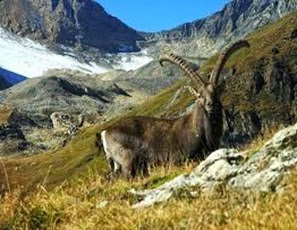 Amazing Pictures of Animals, Photo, Nature, Incredibel, Funny, Zoo, Alpine ibex, Capra ibex, Mammalia, Alex (12)