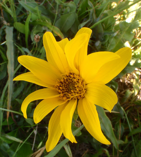 Wyethiaangustifoliahna20120420_14
