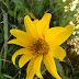 Wyethiaangustifoliahna20120420 14