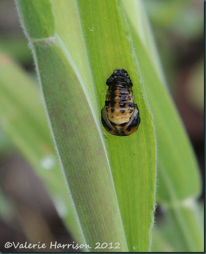 22-ladybird-larvae