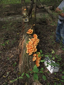 large growth of Laetiporus  sulphureus