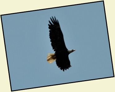 03g3 - Liberty Point - bald eagle