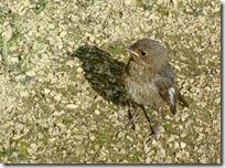 milestone baby robin