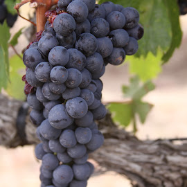 Syrah grapes by Michael Watts - Nature Up Close Gardens & Produce