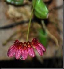 Bulbophyllum corolliferum var atropurpureum.jpg 2