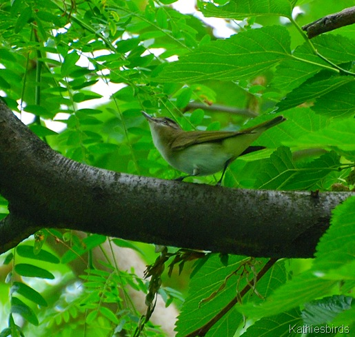 DSC_0186 red-eyed vireo-kab