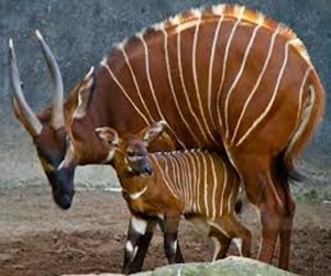 Amazing Pictures of Animals, photo, Nature, exotic, funny, incredibel, Zoo, Western or Lowland bongo, Tragelaphus eurycerus eurycerus, Mammals, Alex  (2)