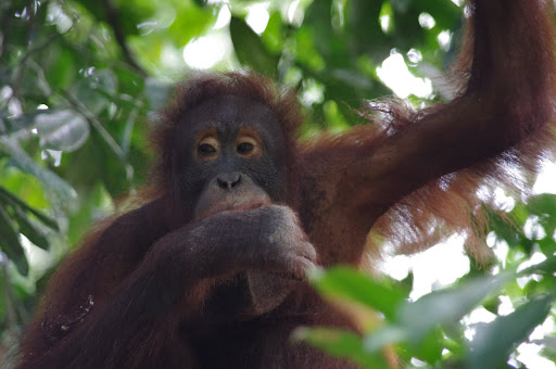 Orangutans are very human-like in appearance and behavior.