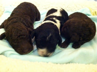 One week old babies, chocolate , parti doodle, chocolate.
