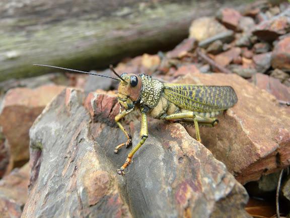Acridoidea : Romaleidae : Tropidacris cristata dux DRURY, 1773. Criquet. Rio Zongo (alt. 600 m). Bolivie, 19 janvier 2008. Photo : J. F. Christensen