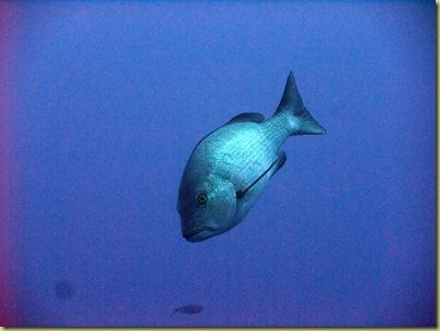 LBS Fish Trevally