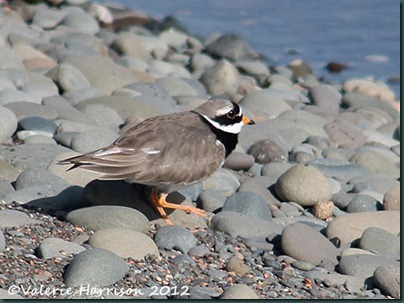 27-Ringed-Plover