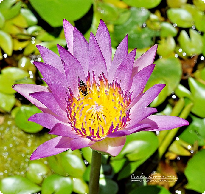 Water-lily---Wat-Pho