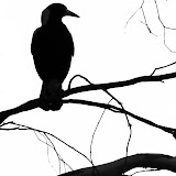 Magpie_silhouette_by_OpalMist.jpg