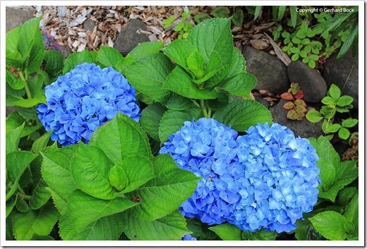 130715_KulaBotanicalGarden_Hydrangea-macrophylla_004