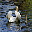 Boston Pub Garden swans