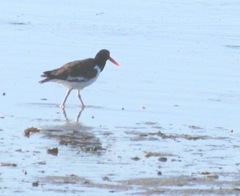 cape cod 8.2013 oyster catcher at beach