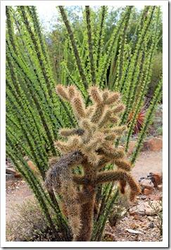 120728_ArizonaSonoraDesertMuseum_Cylindropuntia-x-fosbergii_01