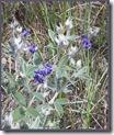 Silverleaf Psoralea plant