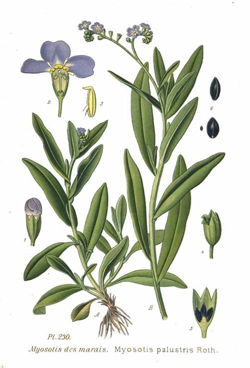 230_Myosotis_palustris_Roth