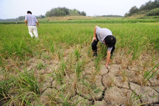 Failed crops in Hubei Province, China, caused by the worst drought in record, 20 August 2012. In Langhe Village, worst hit in Suizhou, nearly one third of the total 233 hectares of land is expected to yield nothing. Another one third of the land will only yield 40 percent of what it should have produced. SINA