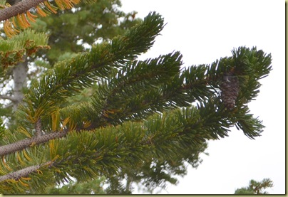 Bristle COne Pine Close up with pinecone