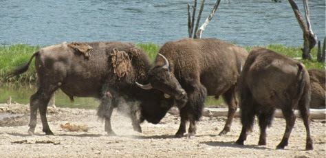 BisonWatching-30-2014-07-30-21-17.jpg
