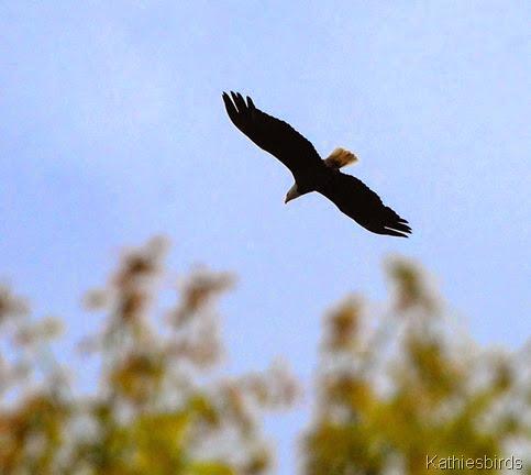 2. bald eagle-kab