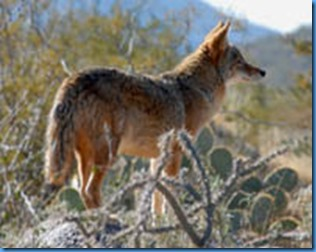 arizona-coyote