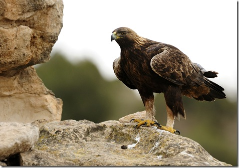 Aguila real3
