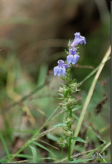 Blue_Lobelia_Native