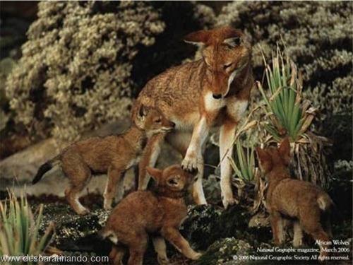 animais national geographic desbaratinando  (41)