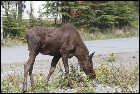 Moose-1