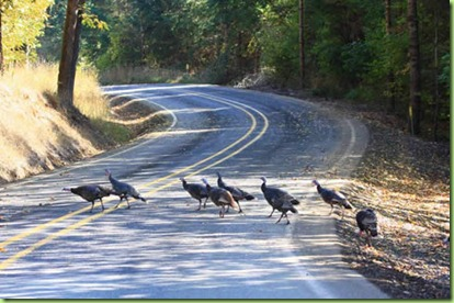 apr_16_wild_turkeys