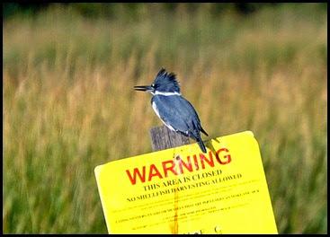 Birds - Kingfisher
