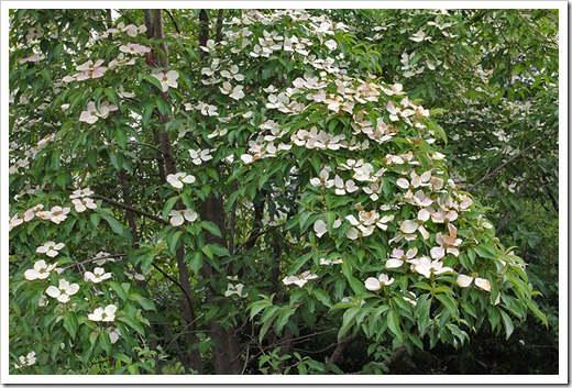 110712_dogwood