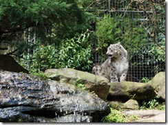 Snow Leopards, Taronga Zoo