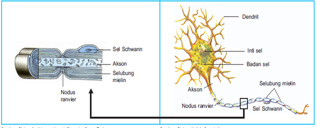 Bagian bagian sel saraf