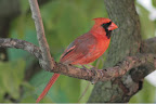Cardinal Male