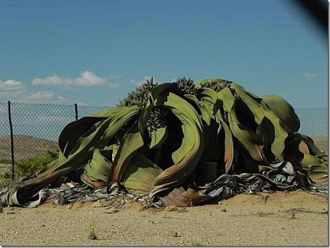 Welwitschia_DSCN6504